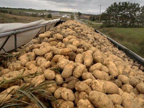 Sau đó, khoai tây được xếp lên các xe tải và chuyển đến khu vực phân loại.