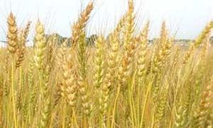 Giá lúa mỳ thấp nhất 5 tháng