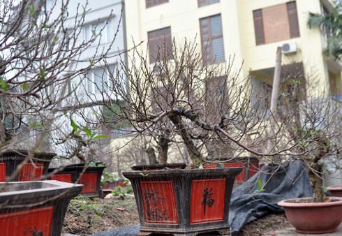 Năm nay, các gốc đào có giá bán và cho thuê cao hơn hẳn so với năm ngoái vì thời tiết lạnh. Ảnh: Anh Quân