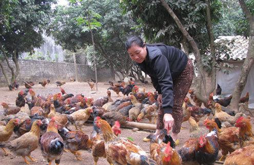 Bà Nguyễn Thị Loan bỏ hết việc đồng áng để chăm sóc hơn 1.000 con gà cho dịp tết. Ảnh: Dân Việt