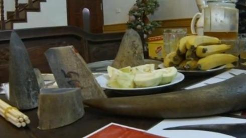 Một chiếc sừng tê có giá hàng trăm triệu đồng mỗi kg. Ảnh: ITV