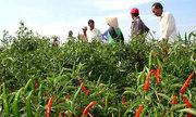 Người trồng ớt trúng lớn