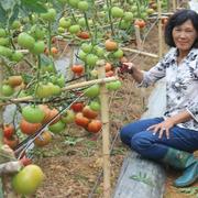 Bà chủ vườn lận đận với cà chua 1kg mỗi trái
