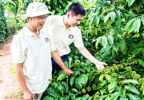 Anh Hứa Lâm Thành  Giám đốc Cây trồng ngoài lúa trong chuyến đi thực tế tại vườn cà phê của nông dân sử dụng giải pháp MMC