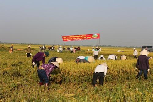 Gặt lúa cùng gia đình nhân viên.
