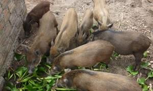 Làm giàu từ nuôi lợn rừng ở Bắc Giang