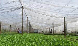 Trồng rau nhà lưới thu tiền tỷ ở Hà Nội