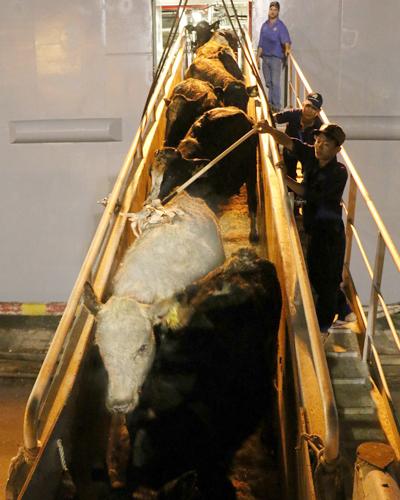 Sau khi đến sân bay, bò sẽ di chuyển bằng ôtô về trang trại Vinamilk tại Tây Ninh,