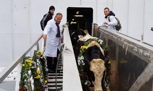 1.100 con bò sữa Mỹ đến trang trại của Tập đoàn TH ở Nga