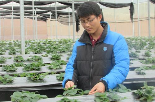 Theo Vũ Văn Lực, làm giàn trồng dâu tây ở độ cao thích hợp sẽ hạn chế được sâu bệnh tấn công vườn dâu.