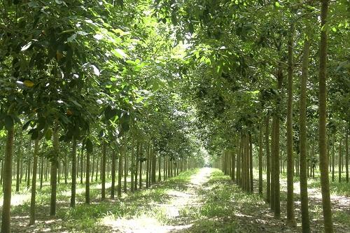 VRG tăng trưởng mạnh diện tích khai thác tại các vườn cây ở Campuchia và Lào.
