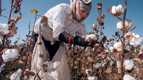 Bông là thế mạnh xuất khẩu của Uzbekistan. Ảnh: Reuters