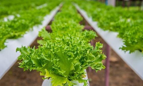 Trồng rau thủy canh chưa đầy một năm đã giúp mô hình khởi nghiệp của kỹ sư công nghiệp thực phẩm thu về khoản lợi nhuận bạc triệu mỗi ngày. Ảnh: GreenBot.vn