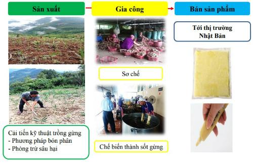 Dự án trồng và sản xuất gừng sang Nhật Bản tại huyện Kỳ Sơn, Nghệ An.