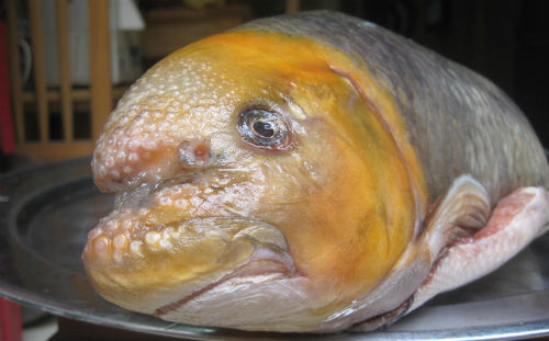 Cá anh vũ đầu vàng là loại khá hiếm nên giá đắt đỏ. Ảnh: Hatthocvang.