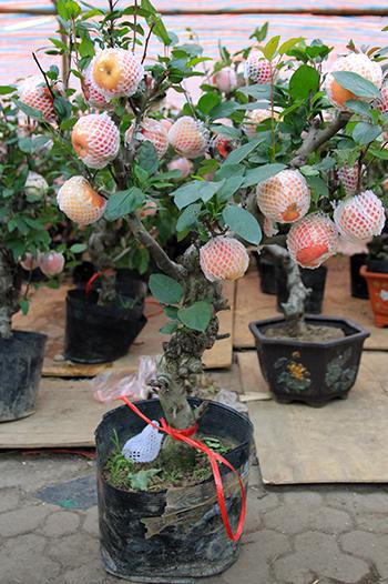 Cây táo bonsai có giá 3 triệu đồng. Ảnh: Anh Tú.