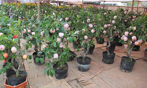 Nhiều khách hàng thích thú với câytáo bonsai Trung Quốc lần đầuxuất hiện tại Hà Nội. Ảnh: Anh Tú.