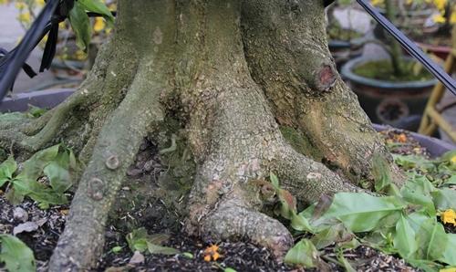 Phần gốc, rễ của cây mai 110 triệu đồng. Ảnh: Anh Tú.