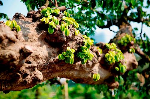 Những nốt u, sần trên thân cây là chứng cho tuổi đời bách niên của cụ khế. Một điều khá thú vị là cây ra nhiều quảđúng vào dịp xuân này.