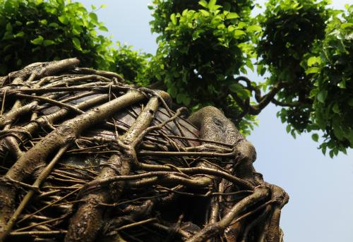 Mất gần 20 nămđể bộ rễ cây ôm trọn chiếc lu.