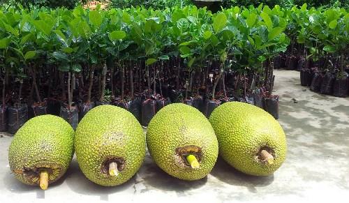 Mít loại 1 có giá 43.000 đồng một kg tại vườn.