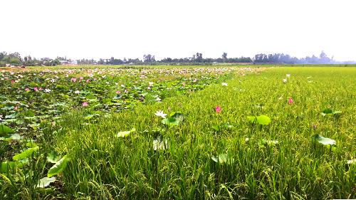Tiếng nghĩ ra phương pháp trồng luân canh sen - lúa để cải tạo đất, không cần cung cấp thêm bất kỳ chất dinh dưỡng trong suốt vụ canh tác.