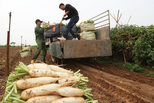 Củ cải trắng ở xã Tráng Việt được trồng theo chuẩn VietGap.