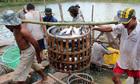 Thủy sản Việt nguy cơ mất thị trường Mỹ