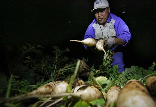 Người nông dân thức đêm để thu hoạch củ cải tại Mê Linh. Ảnh: Ngọc Thành