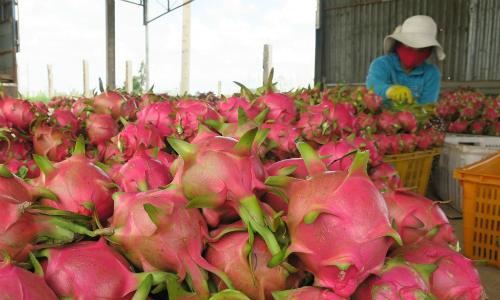 Giá thanh long đỏ được thu mua tới 40.000 đồng mỗi kg ngay tại vườn.