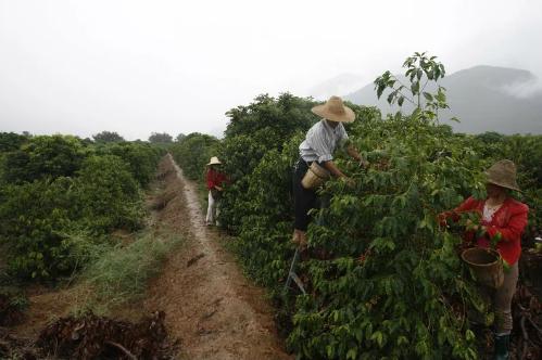 Nông dân thu hoạch cà phê ở Vân Nam (Trung Quốc). Ảnh: Getty
