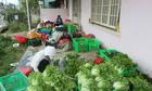 40.000 đồng một kg xà lách cô rôn Đà Lạt