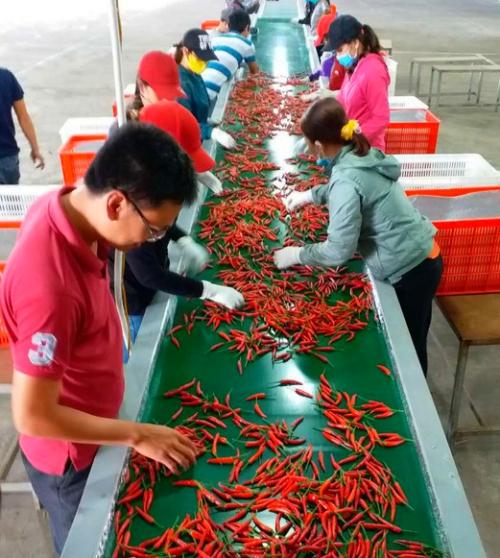 Công nhân HAGL Agrico phân loại ớt sau thu hoạch. Ảnh: HAGL Group.