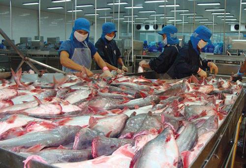 Giá cá tra nguyên liệu liên tục tăng.