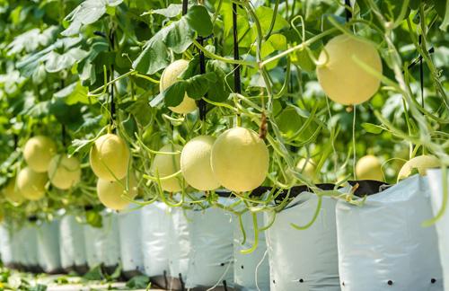 Nông trường đang canh tác các loại nông sản đa dạng và được nhiều người ưa chuộng như các loại rau ăn lá, rau gia vị, rau ăn quả, trái cây (dâu tây, dừa xiêm lùn, lựu đỏ, xoài Thái, xoài Đài Loan, xoài Australi, chà là, táo vàng&).