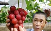 Vì sao trái cây Nhật có giá đắt không tưởng?
