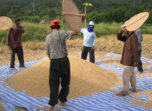 Người nông dân thái sảy thóc bằng phương pháp thủ công. Ảnh: Kasma Loha - unchit