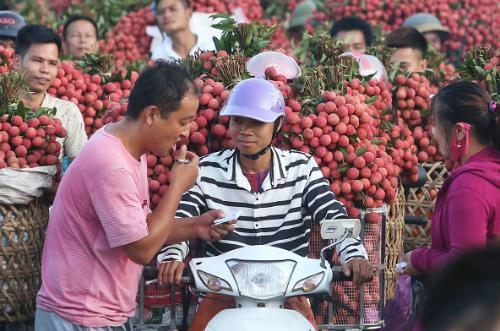 Người dân huyện Lục Ngạn (Bắc Giang) chở vải đến điểm cân. Ảnh: Ngọc Thành.