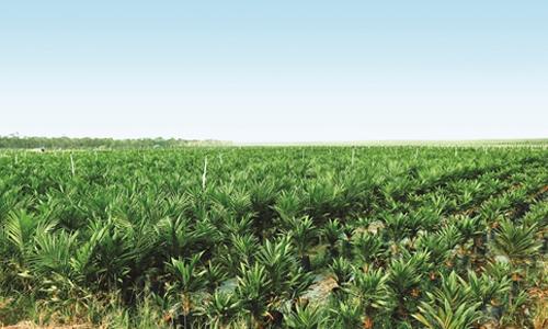 Rừng cọ của Hoàng Anh Gia Lai tại Lào. Ảnh: H.T