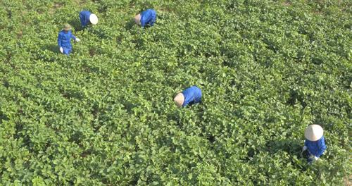 Những cây đậu nành tại xã Thành Lợi - Vụ Bản - Nam Định được chăm sóc với quy trình khắt khe theo tiêu chuẩn GACP-WHO (là các nguyên tắc, tiêu chuẩn thực hành tốt trồng trọt và thu hái dược liệu theo khuyến cáo của Tổ chức y tế thế giới WHO).