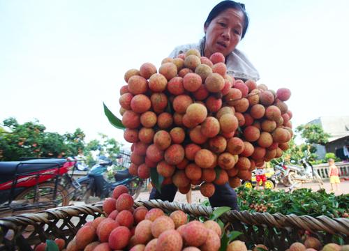 Bà Bảy (xã Giáp Sơn, huyệnLục Ngạn, Bắc Giang) bó từng bó vải cho vào thùng,chuẩn bị chất lên xe chở đem bán tại các điểm cân trong huyện. Ảnh: Ngọc Thành