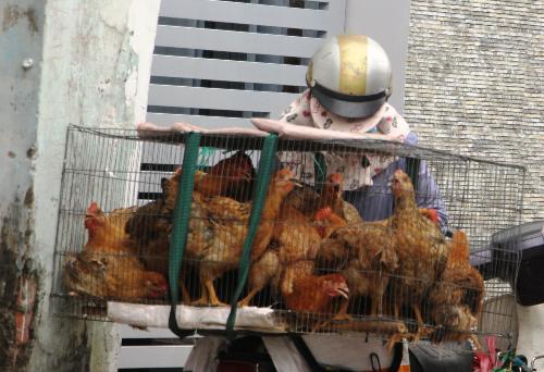 Gần đây gà sống được rao bán tới tận cổng. Ảnh: Hồng Châu.