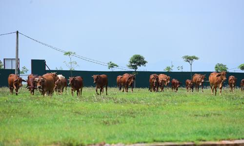 Tuy được phê duyệt chủ trương đầu tư từ 10 năm trước song nhiều dự án tại Mê Linh hiện vẫn chỉ là nơi để chăn bò. Ảnh: Giang Huy