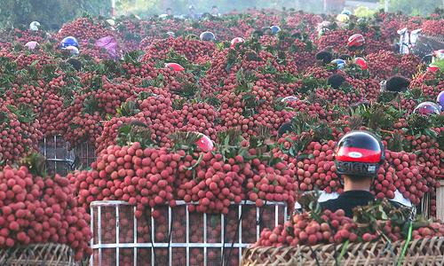 Nông dân Bắc Giang chở vải tới các điểm thu mua. Ảnh: Ngọc Thành