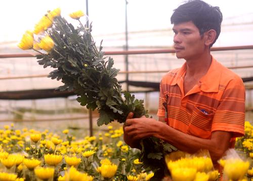 Thu hoạch hoa cúc tại nhà vườn Đà Lạt. Ảnh: Duy Khôi.