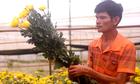 Hoa cúc Đà Lạt tăng giá trong tháng Ngâu
