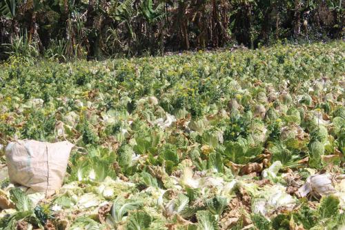 Một vườn bắp sú ở Đà Lạt quá lứa vì không có thương lái thu mua. Ảnh: Quốc Dũng