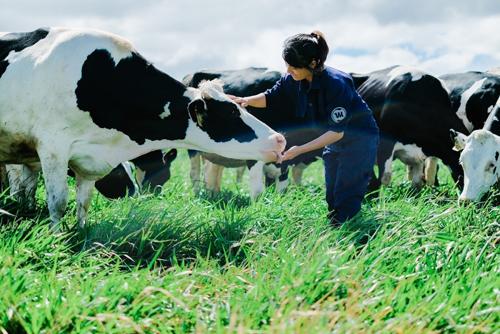 Công nhân đang chăm sóc đàn bò sữa tại trang trại chăn nuôi của Vinamilk.