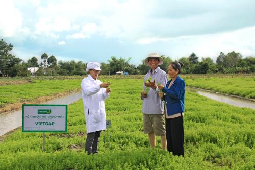 Kỹ sư nông nghiệp Lê Thanh Mai (áo trắng) đang hướng dẫn hộ nông dân Nguyễn Văn Bé, xã Tân Bình, huyện Châu Thành, tỉnh Đồng Tháp, thực hiện trồng rau ngò ôm theo mô hình VietGAP, cung cấp cho Uniben sản xuất gói gia vị cho mì 3 Miền.