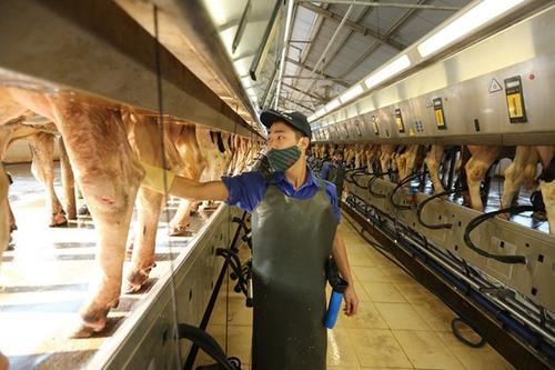 Nhiều cải tiến về công nghệ liên tục được áp dụng đã giúp cho việc chăn nuôi tại nông trường Mộc Châu đạt năng suất cao hơn bao giờ hết.